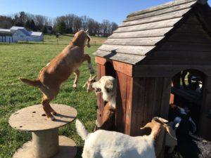 Goat tree house 3
